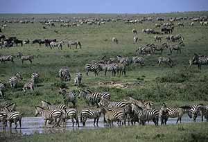 La Grande Migration en Tanzanie
