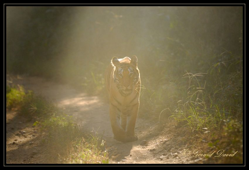 tigre_inde_04-12-2008-378-cadre