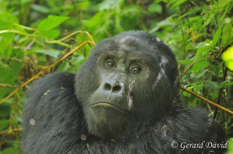 Gorille dans la foret de Bwindi