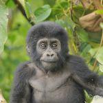 Bébé gorille