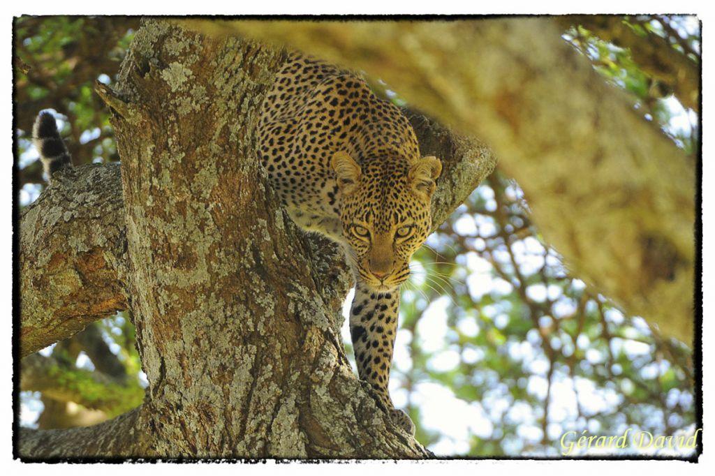 Leopard__33_