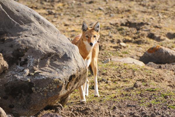 Loup-_Ethiopie_01-02-2013-_232
