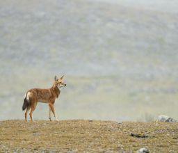 Abyssinie : l'appel du loup
