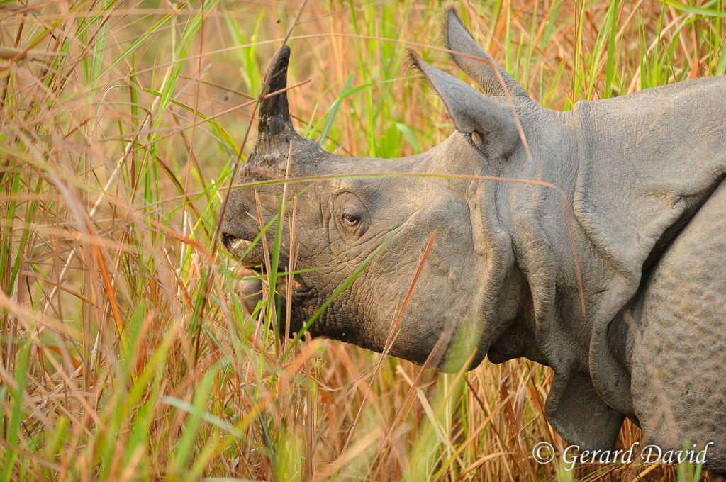 Rhinoceros unicorne indien