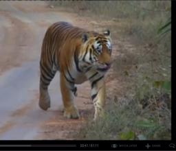 Tigre, une mort annoncée ?