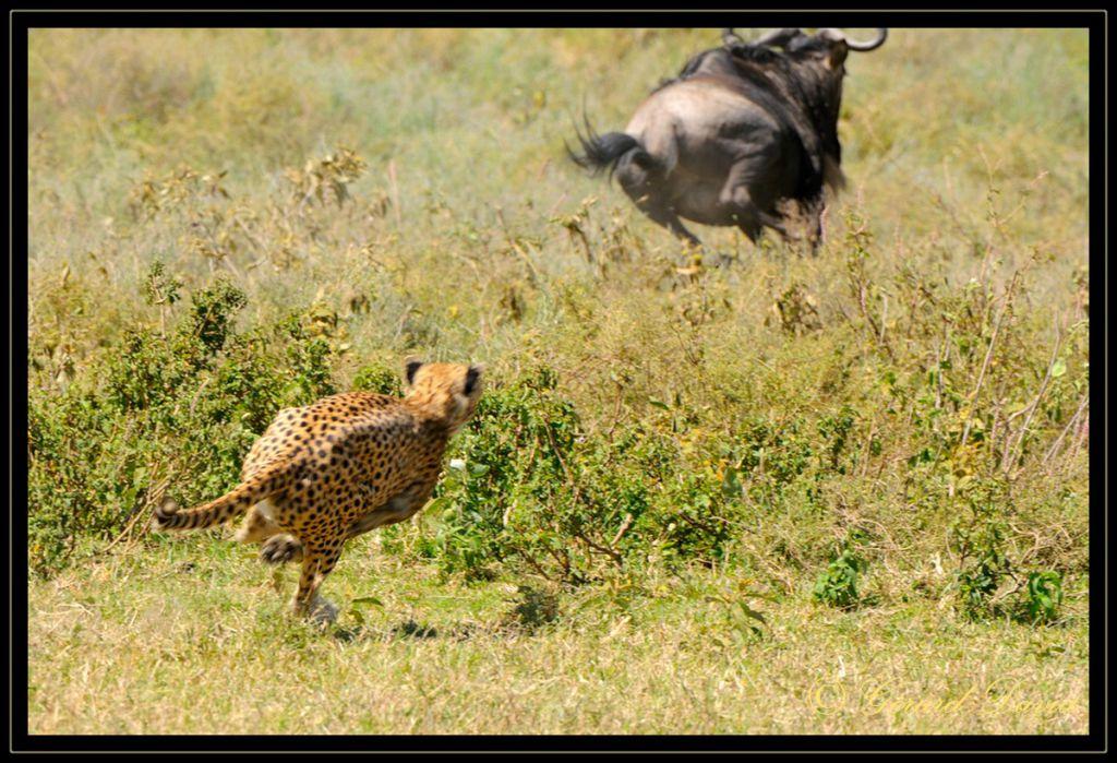 guepard-_tanzanie_085