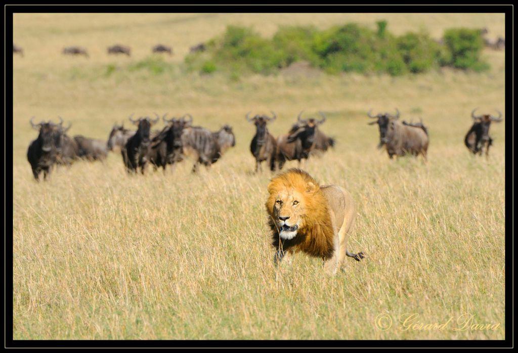 lion_kenya_701