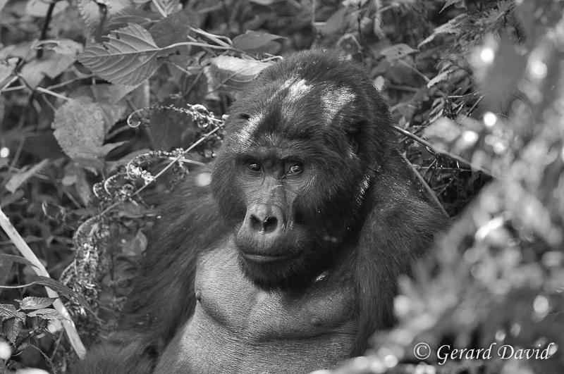Gorille_Ouganda_27-05-2014 _118