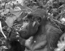 Ouganda 2014: Gorille
