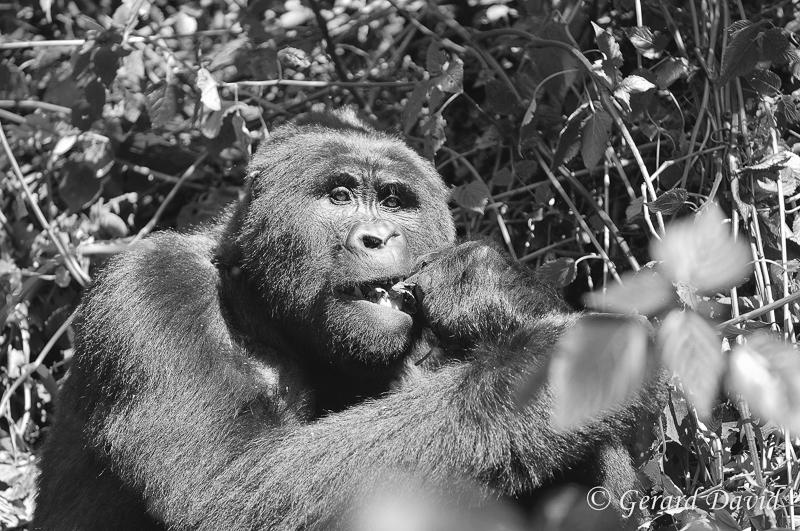 Gorille_Ouganda_27-05-2014 _196