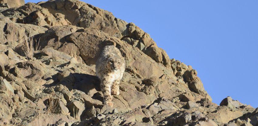 Sur la piste du léopard des neiges